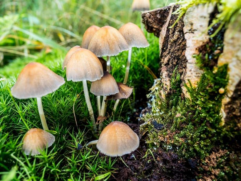 галюциногенні гриби